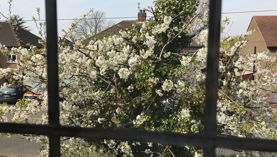 View of blossom through a window